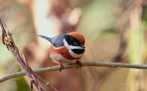 Картинка синица, Рыжеголовая, длиннохвостая, мелкая певчая птица
