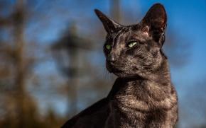 Обои кошка, боке, Ориентальная кошка