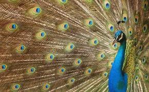 Обои глазки, перья, хвост, павлин, beautiful bird wallpapers, красивая птица, роскошное оперение, digital art, Peacock