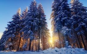 Картинка ёлки, лучи, свет, снег, солнца, природа, зима, деревья, лес