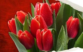 Обои nature, flowers, spring, colorful tulips