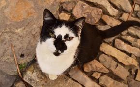 Обои кошак, котяра, глаза, кот