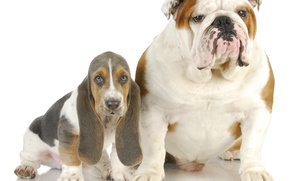 Картинка бассет, Собаки, английский бульдог