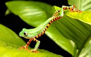 Картинка лягушка, зеленая, прыгает