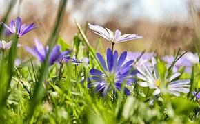 Обои трава, цветы, сиреневые, ромашки