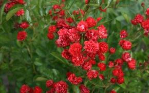 Картинка цветы, красный, розы, зелёный, мелкие