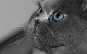 Обои кошка, глаза, кот, взгляд, серый, голубые