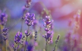 Картинка поле, фиолетовый, поле цветов, field, боке, bokeh, purple, field of flowers, field of lavender, поле …