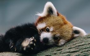 Картинка дерево, отдых, firefox, Красная панда