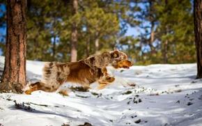 Картинка собака, бег, лес