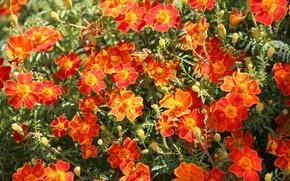 Картинка лето, цветы, бархатцы