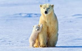 Картинка зима, свет, снег, малыш, белые медведи, Белая медведица