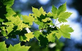 Картинка лето, листья, зеленый, ветка, клен