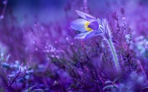 Картинка цветок, весна, первоцвет, сон-трава, прострел большой, сон великий, pulsatílla grandis