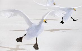 Картинка птица, крылья, Япония, Хоккайдо, лебедь, кликун