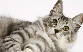 Картинка кошка, кот, взгляд, киска, белый фон, cat, котэ