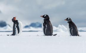 Обои Антарктида, пингвины, Antarctica, Wilhelmina Bay, папуанский пингвин, снег, птицы