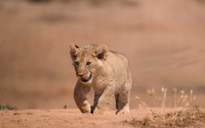 Картинка лев, детёныш, львёнок