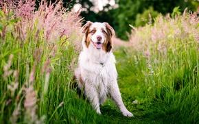 Картинка трава, природа, собака, луг, Австралийская овчарка