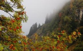 Обои склон, горы, туман, деревья, ягоды, скалы, рябина, ветки, осень, лес