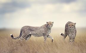 Обои поле, трава, хищники, пара, дымка, двое, боке, гепарды