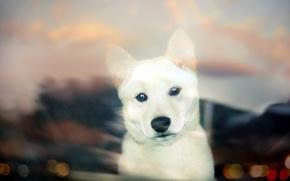 Картинка взгляд, собака, щенок, white, puppy, bokeh, Shiba Inu