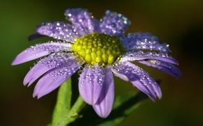 Картинка цветок, капли, роса, сиреневый