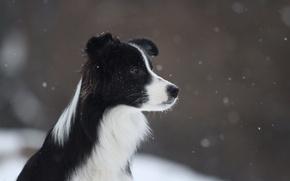 Картинка зима, снег, летит, border collie, Бордер колли