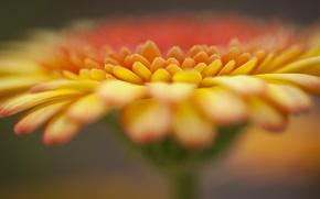Картинка цветок, оранжевая, фокус, гербера