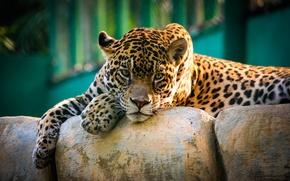 Картинка взгляд, ягуар, дикая кошка