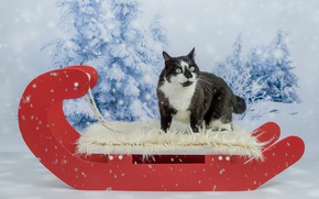 Обои кот, глаза, фотосессия, новый год, рождество, фон, снег, кошка, красный, ели, мех, ошалелый, морда, черно-белый, ...