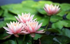 Картинка цветы, лилии, лепестки, розовые, кувшинки, водяные