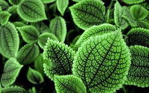 Картинка макро, листва, зелень, листья
