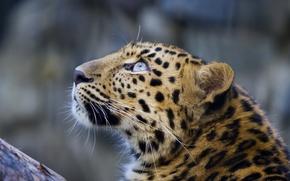 Картинка усы, морда, леопард, leopard, взгляд вверх