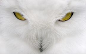 Обои взгляд, белый, сова, white