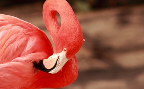 Картинка розовый, птица, клюв, грация, фламинго, шея, оперение