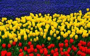 Обои люпины, тюльпаны, триколор
