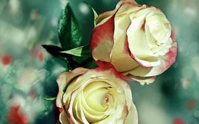 Картинка розы, Макро, лепестки, бутоны