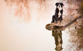 Картинка вода, отражение, собака, бревно, Бордер-колли