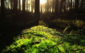 Картинка лес, солнце, ветки, стволы, мох, чаща, опушка