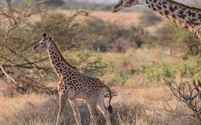 Картинка пара, жирафы, саванна, Африка, детеныш
