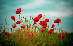 Обои поле, небо, цветы, красный, природа, Маки