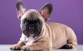 Картинка милый, щенок, порода, французский бульдог