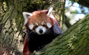 Картинка дерево, животное, размытость, млекопитающее, Red Panda, Kрасная панда