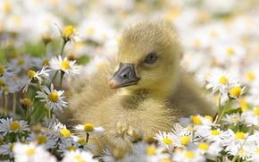 Картинка Flowers, Small, Daisies, Geese