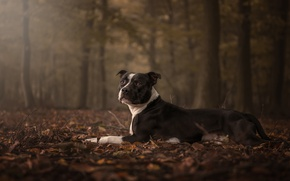 Картинка грусть, осень, лес, взгляд, морда, листья, поза, листва, собака, лежит