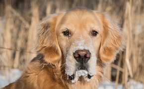 Картинка собака, Золотистый ретривер, Голден ретривер, взгляд, снег, пёс, морда