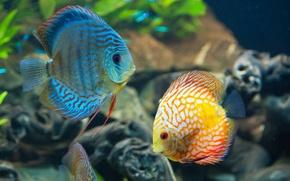 Картинка coral reef, Discus, Дискус, underwater, коралловый риф, под водой, sea, море, красивая, fish, океан, ocean, ...