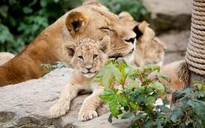 Картинка камень, львы, детёныш, кошки, львёнок