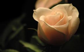 Картинка темный фон, роза, свечение, rose
